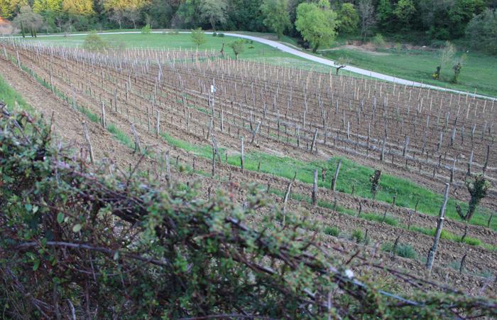 The Kozlovic Vineyards in Istria.