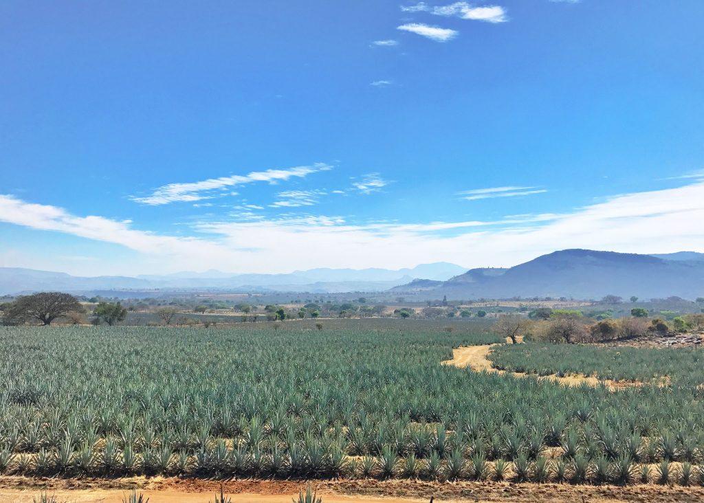 Agave Fields in Tequila outside Guadalajara